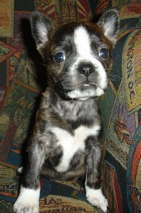 Boston Terrier Pitbull Mix Puppies 2
