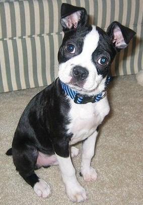 Boston Terrier Pitbull Mix Puppies 3