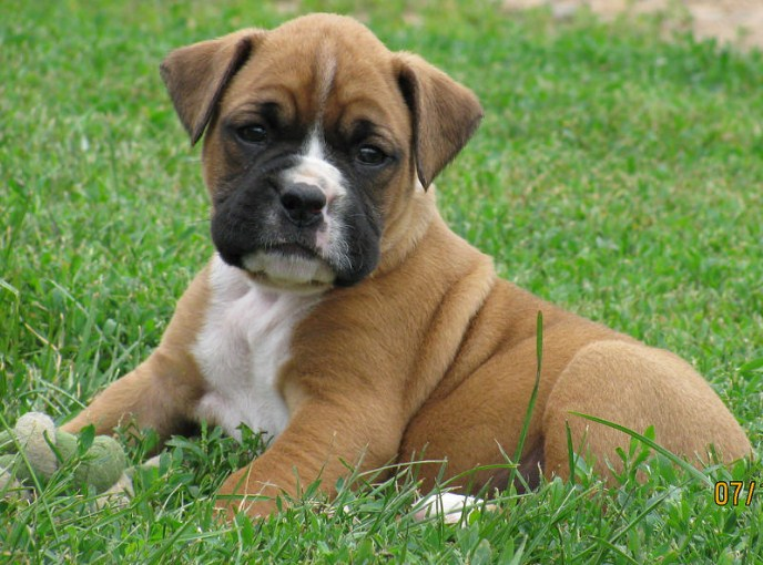 Boxer Pitbull Puppies 2