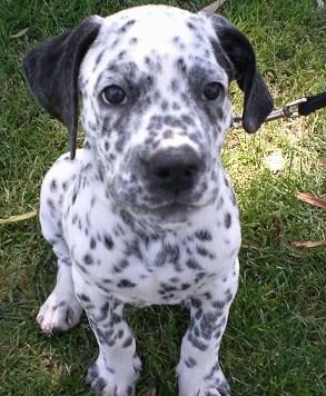 Dalmatian Pitbull Mix Puppies aka Bullmatian 2