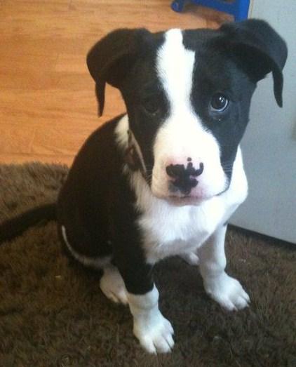 Pitbull Border Collie Mix Puppy 1