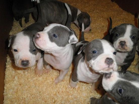 Pitbull Puppies 4