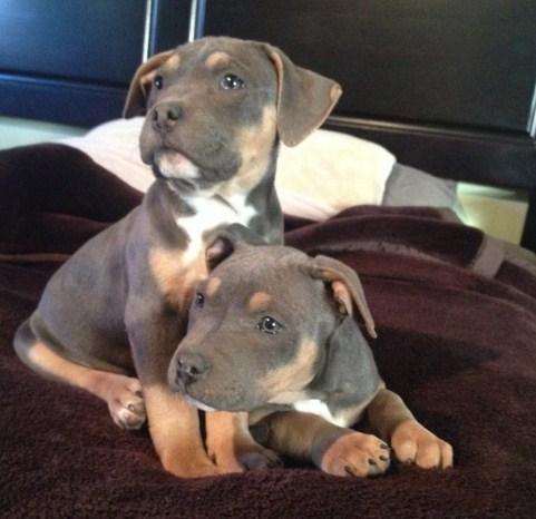 Tri Color Pitbull Puppies 3