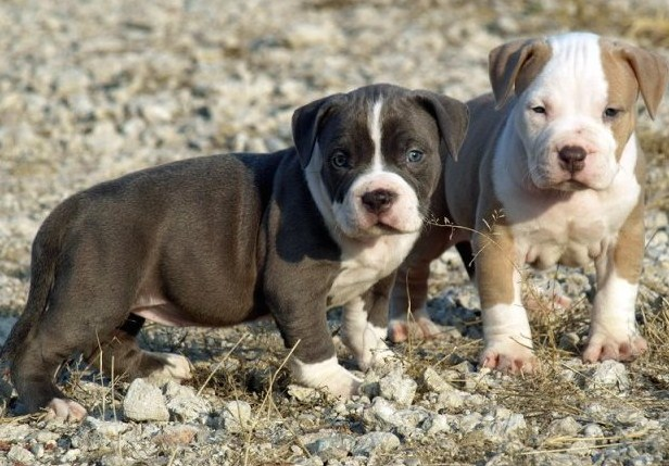 American Pitbull Terrier Puppies 3