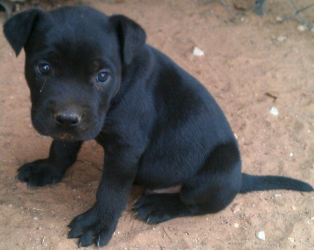 Black Pitbull Puppies 3