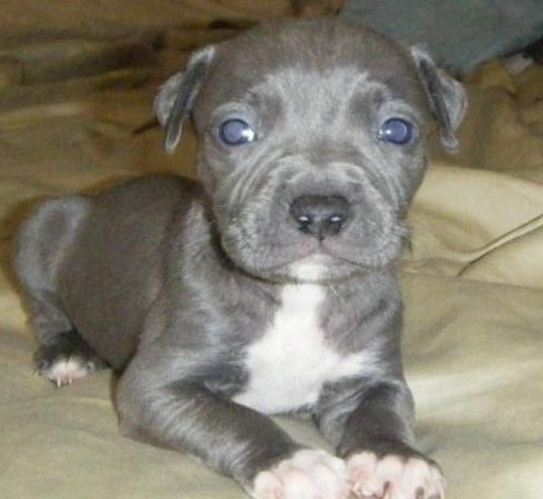 Blue Nose Pitbull Puppies 1
