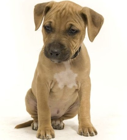 Boxer Pitbull Puppies 3