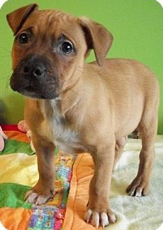Boxer Pitbull Puppies 4