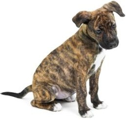 Brindle Pitbull Puppies 2