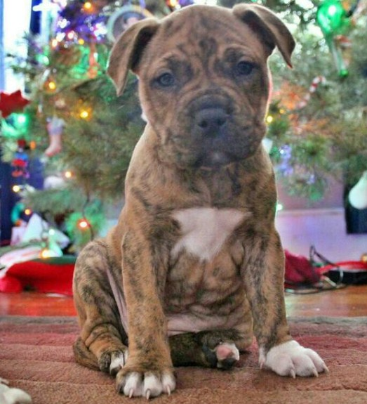 Brindle Pitbull Puppies 3