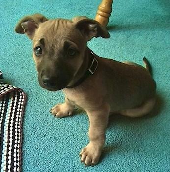 Chihuahua Pitbull Puppies 1