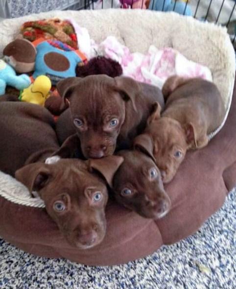 Chocolate Lab Pitbull Mix Puppy 1