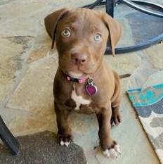 Chocolate Lab Pitbull Mix Puppy 2