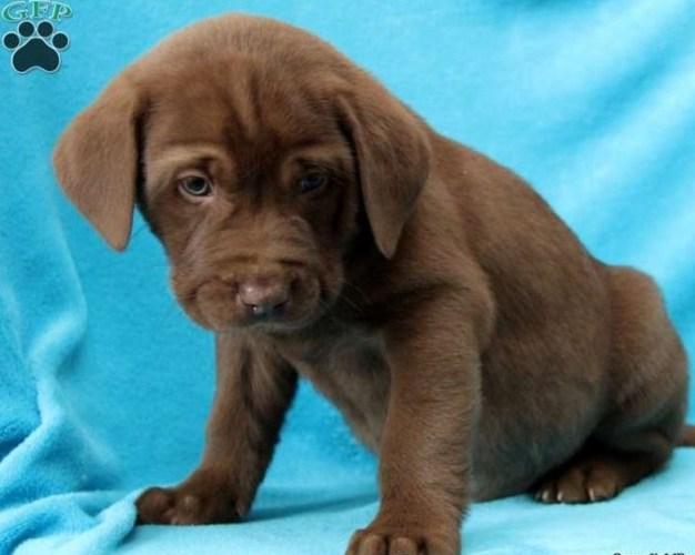 Chocolate Lab Pitbull Mix Puppy 4