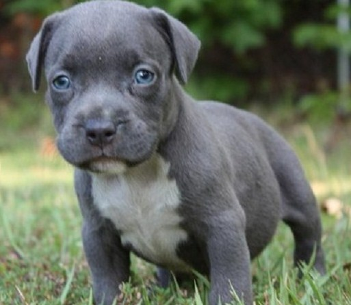 Grey Pitbull Puppy with Blue Eyes