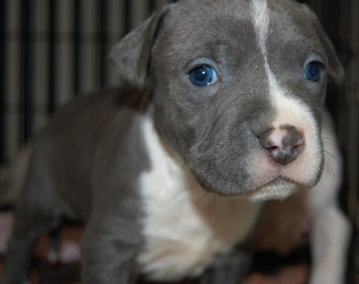 Grey Pitbull Puppy with Blue Eyes 4