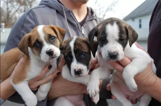 How Much Are Pitbull Puppies