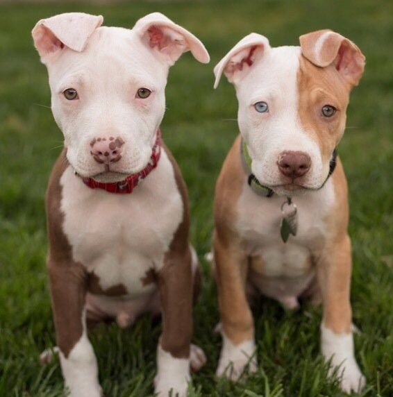 Pictures of Pitbull Puppies 3