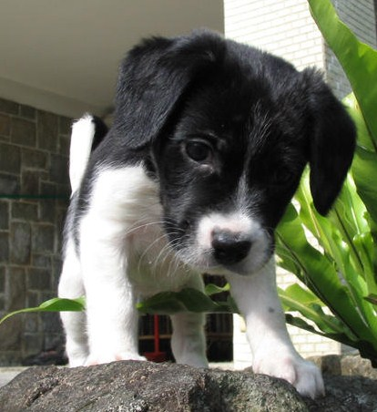 Pitbull Border Collie Mix Puppy 2