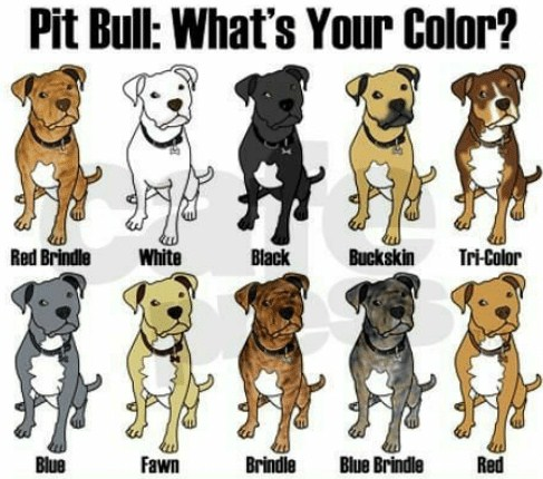Pitbull Breeding Color Chart