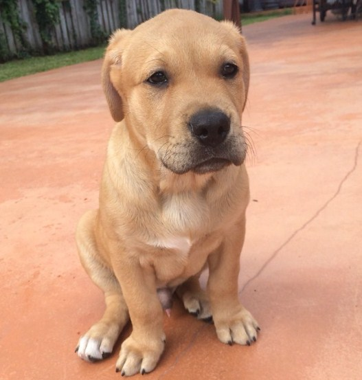 Pitbull Golden Retriever Mix Puppy