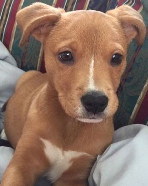 Pitbull Golden Retriever Mix Puppy 2