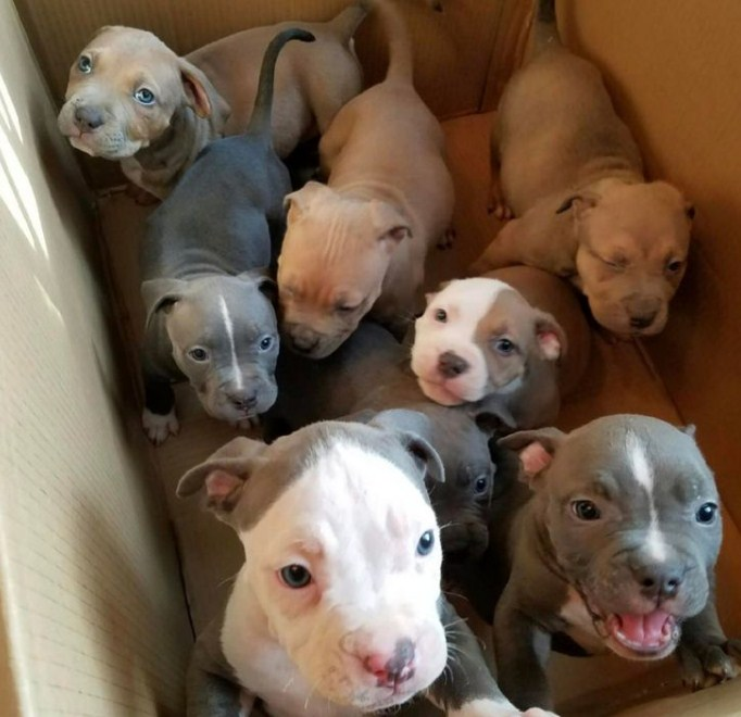 Pitbull Puppies 3