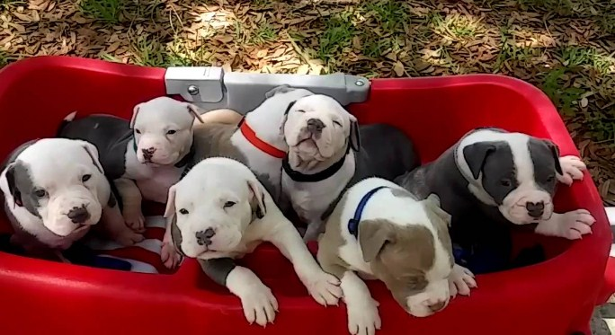 Pitbull Puppies for Sale 3