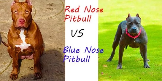 Red Nose Pitbull vs Blue Nose Pitbull 1