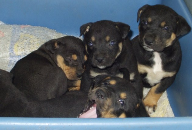 Rottweiler And Pitbull Mix Puppies Pitbull Puppies