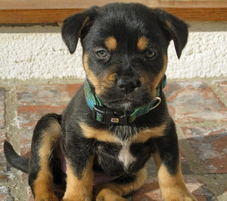 Rottweiler and Pitbull Mix Puppies 3