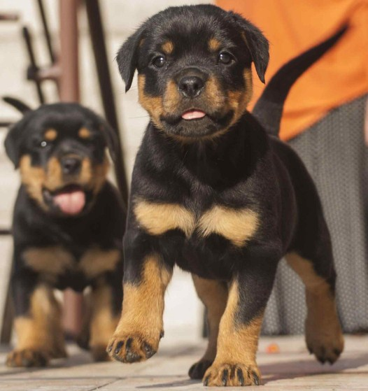 Rottweiler and Pitbull Mix Puppies