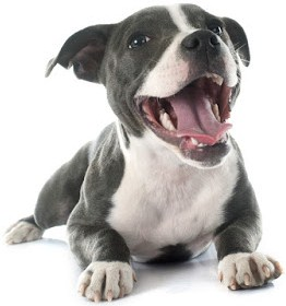 Train a Pitbull Puppy 1