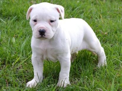 White Pitbull Puppies 2