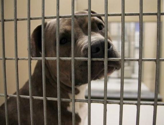 Animal Planet Pitbulls Adoption 3