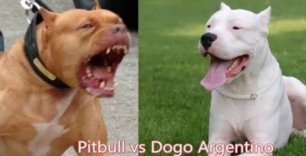 Dogo Argentino vs. Pitbull 2