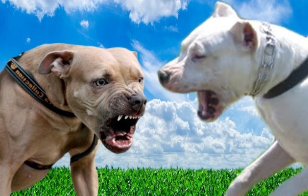 Dogo Argentino vs. Pitbull 3