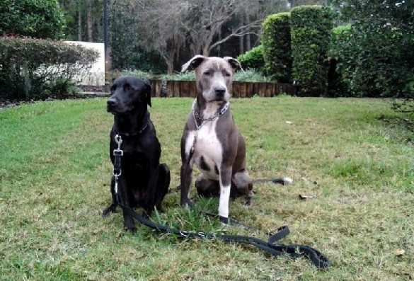 Great Dane Pitbull Mix 2