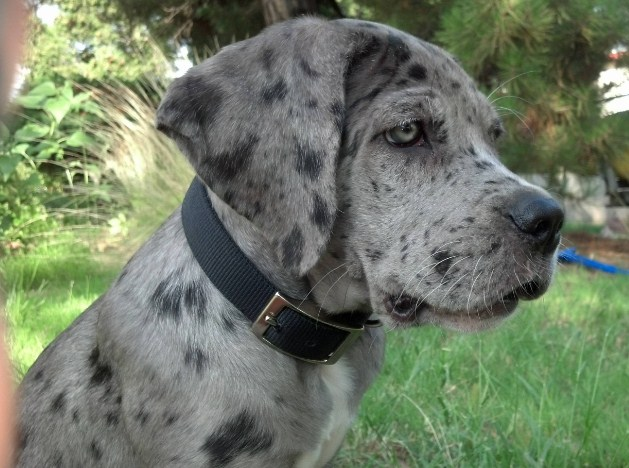 Great Dane Pitbull Mix