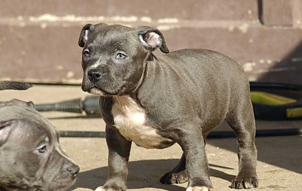 Teacup Pitbull Puppies 1