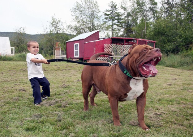 World's Largest Pitbull 2