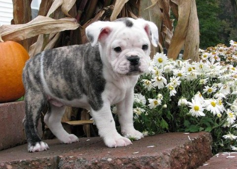 English Bulldog Boston Terrier Mix