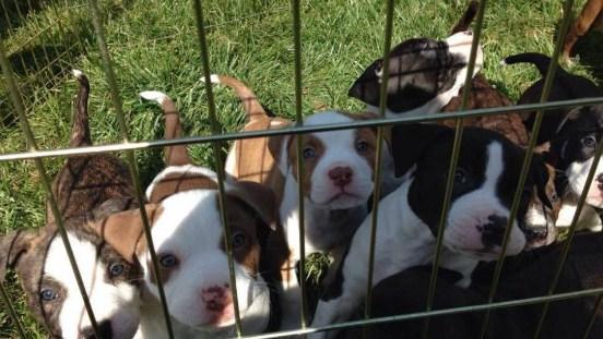 Pitbull for Adoption Near Me