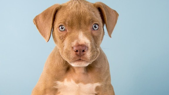Red Nose Pitbull Mixed with Lab Puppies