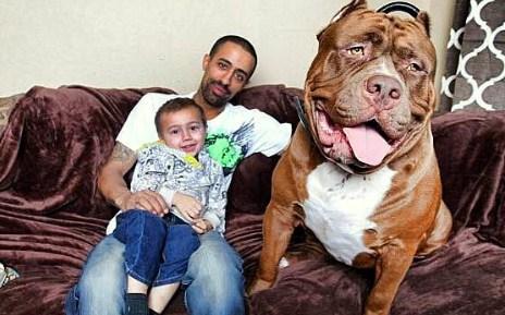 XXL Pitbulls 150 Pounds | Pitbull Puppies