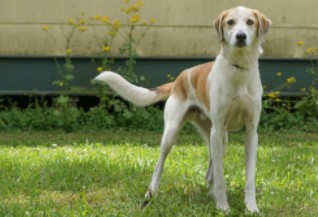 Chuckie  Dogs to Adopt