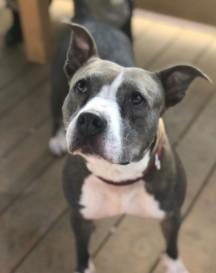 Dutchess  Dogs to Adopt