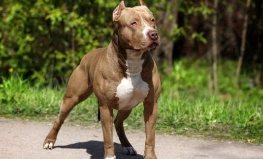 How Many Pit Bulls are Abused Each Year