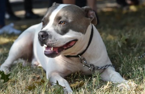 How Many Pit Bulls are Euthanized a Year