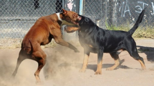 How Many Pit Bulls are Used for Fighting